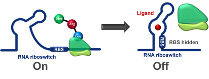 A diagram that shows how the RNA riboswitch mechanism works to inhibit production of the protein that causes Alzheimer's.